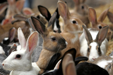 The population of rabbits