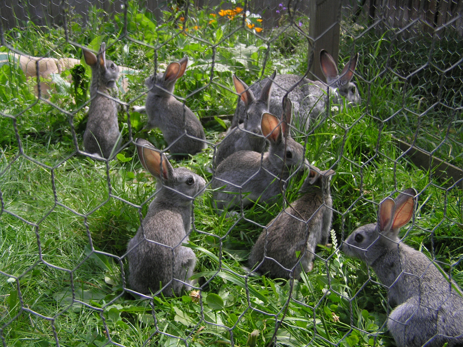 Vegetable Garden Rabbit Repellent Garden Ftempo