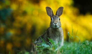 Homemade Rabbit Repellents