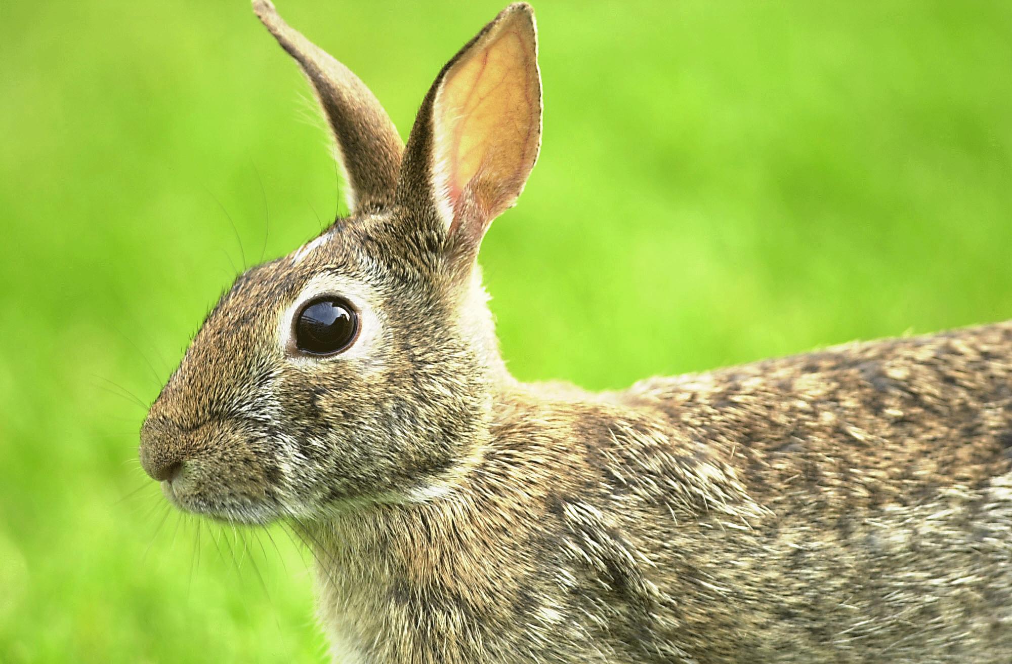 how to prepare wild rabbit