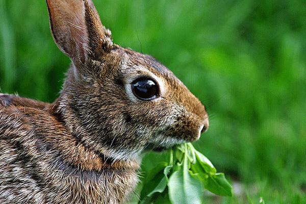 Stop Rabbit Problems Homemade Rabbit Repellents