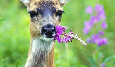 Deer Repellents That Really Work Archives Homemade