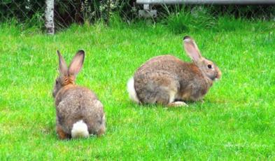 Rabbit Repellent for Gardening Seed